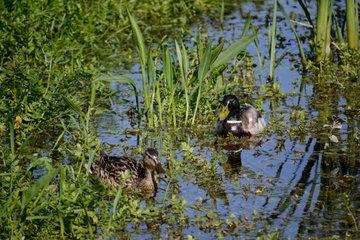 Wildentenpaar schwimmt zwischen Wasserpflanzen im Teich