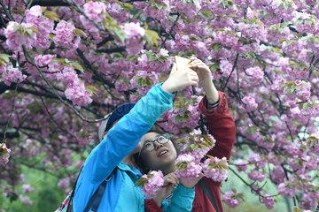 CHINA-ANHUI-CHERRY FLOWERS (CN)