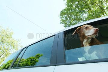 Hund  Blick  Auto  car