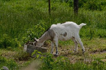 junge Ziege im gruenen Gras trinkt