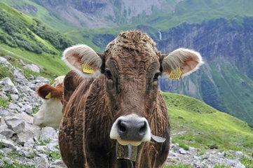 Junges Rind (Bos primigenius taurus)  Oytal bei Oberstdorf  Allgaeuer Alpen  Allgaeu  Bayern  Deutschland  Europa