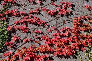 Wilder Wein  an eine Hauswand in Herbstfarben