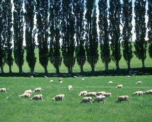 New Zealand  South Island  sheep grazing in field