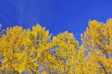 Herbstlich gefaerbte Laerchen (Larix)  Aussichtspunkt Hofmannsruh  Oberstdorf  Allgaeuer Alpen  Oberallgaeu  Bayern  Deutschland  Europa