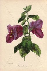 Remarkable bougainvillea  Buginvillaea spectabilis