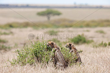 Zwei aufmerksame Geparde