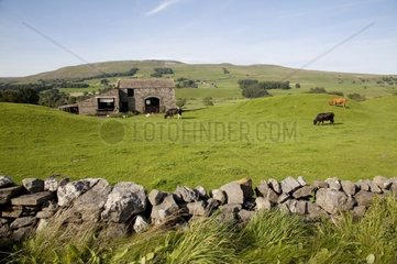 UK  England  Yorkshire  Dales National Park  drystone walls divide up lush green fields