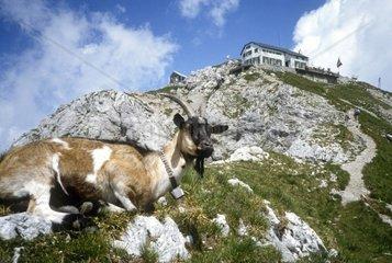 Italy  Lombardy  Mount Grigna  Rifugio Brioschi Goat