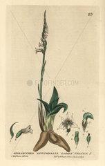 Ladies traces  Spiranthes autumnalis