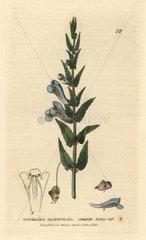 Common skull-cap  Scutellaria galericulata