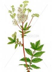 Maedesuess Filipendula ulmaria Serie Heilpflanzen