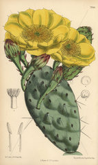 Opuntia rafinesquii  native of the United States of America.