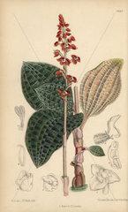 Macodes javanica  native of Java  Indonesia.