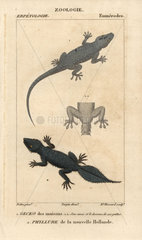 House gecko and broad-tailed gecko