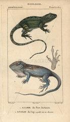 Jacky lashtail and Cape dwarf gecko