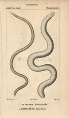 Frail caecilian and red worm lizard