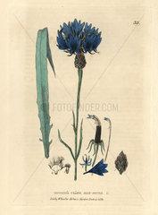 Bluebottle or cornflower  Centaurea cyanus