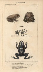 Midwife toad and dyeing dart frog