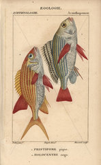 Banded grunt and squirrelfish