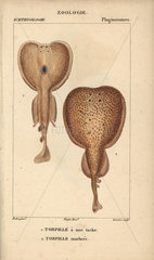 Torpedo and marbled electric ray