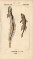 Violet goby and sand goby