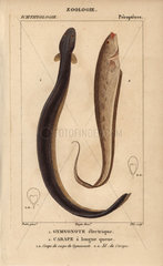 Electric eel and banded knifefish