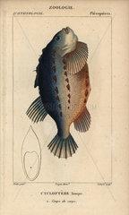 Lumpfish or lumpsucker  Cyclopterus lumpus