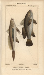 Longtail croaker and meagre