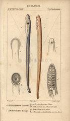 Big-eyed lamprey and red lamprey