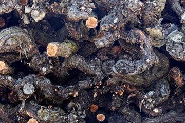Alte Wurzeln eines Weinstockes als Motiv fuer Hintergrund