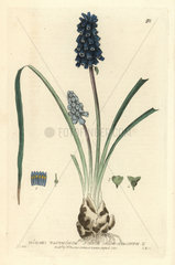 Starch grape-hyacinth  Muscari racemosum