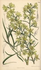 Delphinium zalil  native of Khorasan  Afghanistan