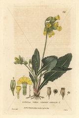 Common cowslip  Primula veris