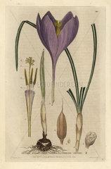 Naked-flowering crocus  Crocus nudiflorus