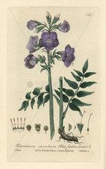 Blue Jacob's ladder  Polemonium caeruleum