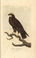 Moor buzzard  Falco aeruginosus