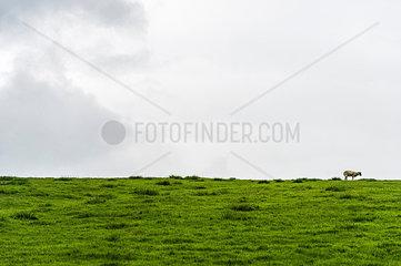 Schaf auf der Weide im Yorkshire Dales Nationalpark  England  Grossbritannien