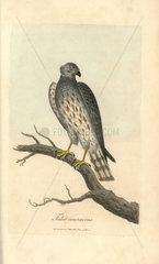 Ash coloured falcon  Falco cineraceus
