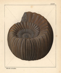 Extinct fossil gastropod