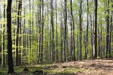 Rotbuche Fagus sylvatica RotBuchen Wald in Fruehling