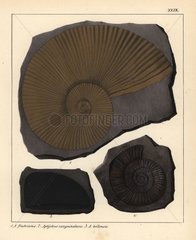 Extinct fossil ammonites