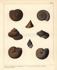 Extinct fossil sea snails