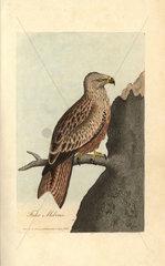 Kite  Falco milvus  Milvus milvus