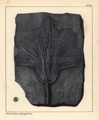 Pentacrinites subangularis fossil