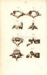 Axis and vertebrae