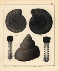 Fossils of extinct cephalopods