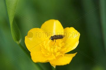 Fliege sitzt auf Scharbockskraut