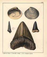 Fossil clams and shark teeth