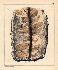 Fossil of Neuropteris grandiflora  an extinct seed fern.