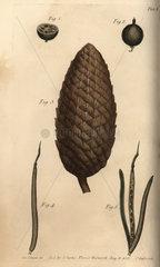 Seed vessel pericarpium of the gooseberry Ribes uva-crispa (1-2)  fir tree Pinus sylvestris (3) and wallflower Erysimum cheiri (4-5).
